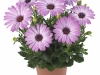 margarita-lilac-spaanse-margriet-osteospermum