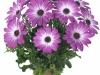 margarita-pink-flare-spaanse-margriet-osteospermum