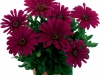 margarita-purple-spaanse-margriet-osteospermum