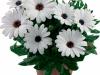 margarita-white-spaanse-margriet-osteospermum