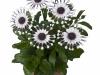 margarita-white-spoon-spaanse-margriet-osteospermum